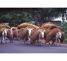 Donkies at work near Agra, India. Photographic Print