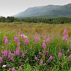 Fireweed by MichaelWilliams