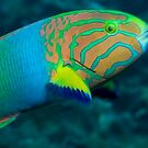 Green Moon Wrasse by Erik Schlogl