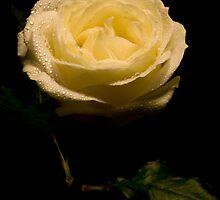 Whtie Rose by Wendy Skinner