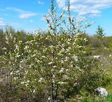 Wild Pincherry Tree by MaeBelle