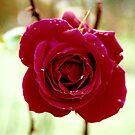 Red rose by Martina Fagan
