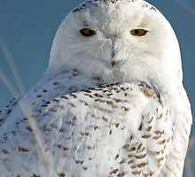 Snowy Owl Eyes by lloydsjourney