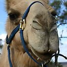 Pichi Richi Camels by outbackjack