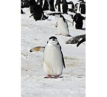 "Chinstrap Penguin  ~  ""Traffic Cop on Point Duty"" Photographic Print"