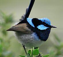 Blue wren by Sally  Djurovich