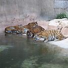 Tigers Drinking At The Waterhole by justbyjulie