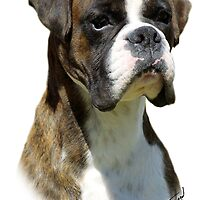 Boxer by Traffordphotos