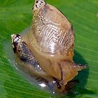 Freshwater snails by main1