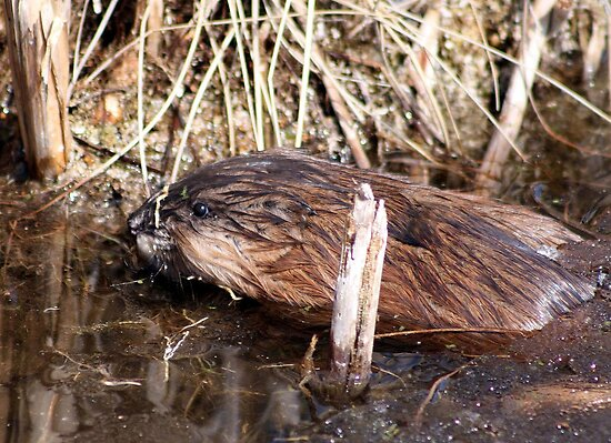 THE MUSKRAT by Larry Trupp
