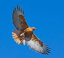 Rufous Morph Red-Tailed Hawk by Marvin Collins