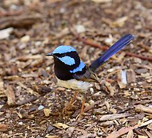 Superb Fairy Wren by margotk