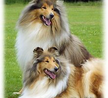 Rough Collies by Traffordphotos