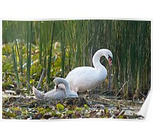 Swan with Cygnet Poster