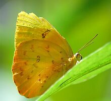 Yellow Orange Butterfly on Lime Leaf in Costa Rica Rainforest by HotHibiscus