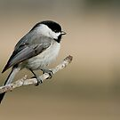 Meditative Chickadee by Bonnie T.  Barry