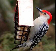 Red-bellied Woodpecker at Suet Feeder by Laurel Talabere