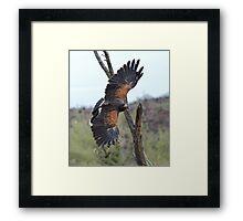 Harris Hawk Hunting Framed Print