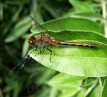 Dragonfly... by sendao