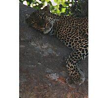 Bella The Leopard  Photographic Print