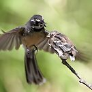 Grey Fantail ~ It's Simple Kid  by Robert Elliott