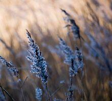 Reeds by photos-by-matt