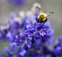 Bee and Lavender by horus40
