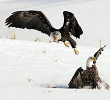 Eagles hunting by Paul Clarke