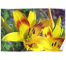 Raindrops on daylilies Poster