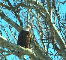 020609-73  BALD EAGLE by MICKSPIXPHOTOS