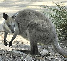 Wallaby by Tom Newman