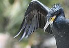 great cormorant by Steve Scully