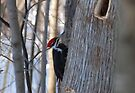 Pileated Woodpecker - Dryocopus Pileatus by Lynda  McDonald