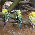 Budgie Snooze Time by Elaine Teague