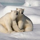 Polar Bear Brothers by Steve Bulford