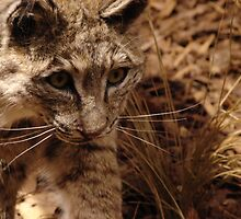 Bobcat by down23