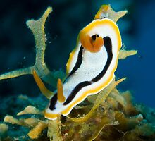 Chromodoris annae, Kimbe Bay, Papua New Guinea by Erik Schlogl
