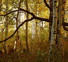 Aspen Woods by Chelsea Brewer