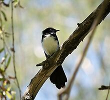 Wagtail ! by Claire  Farley
