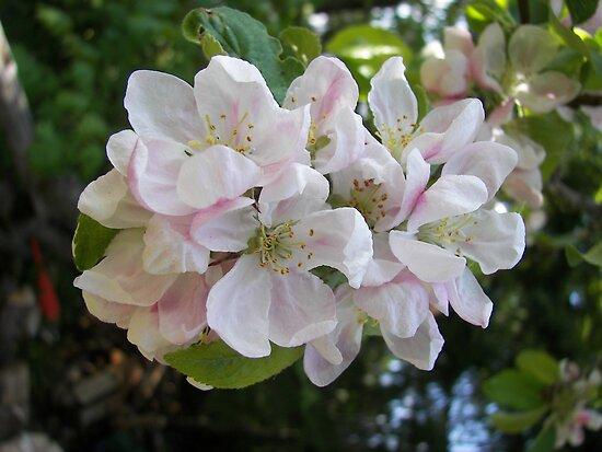 Summer Apple Blossoms by TheKoopaBros