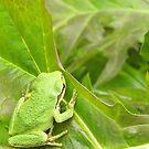 Tree frog on the leaves by TheKoopaBros