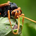 Orange Spider Wasp by Andrew Trevor-Jones