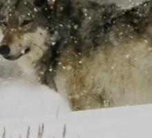 Winter Wolf #1 Sticker