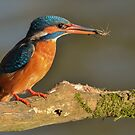 Kingfisher (Alcedo atthis) - IV by Peter Wiggerman