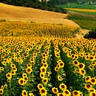 Fields of Gold, Andalucia by Les Meehan