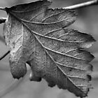 Dried leaf2 by sminchin
