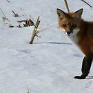 Foxy by Dave & Trena Puckett
