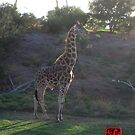 African Giraffe Late Afternoon by Keith Richardson