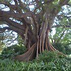 Amazing Fig Tree by Vicki Hancock