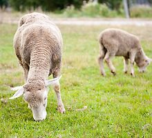 Two sheeps eating grass by Arletta Cwalina